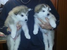 Adorable alaskan malamute puppies for sale. for sale in South Yorkshire, North East :: Dogs and Puppies