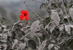 Una roja flor de hibisco entre cenizas El día después de la erupción del volcán Sinabung (Indonesia), ocurrida el 19 de noviembre de 2013, ...