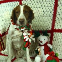 Scholes is an adoptable Brittany Spaniel Dog in Kalamazoo, MI. Calling all Spaniel lovers!  Meet Scholes a Brittany Spaniel who is a gem of a dog.  Scholes is an athletic, healthy dog who in his previ...