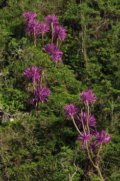Má listy v tvare meča tmavo zelenej farby, ktoré pri dozrievaní plodov zázračne menia svoju farbu na ružovo-fialovú. Plants, Tatoo, Flora, Plant, Planting