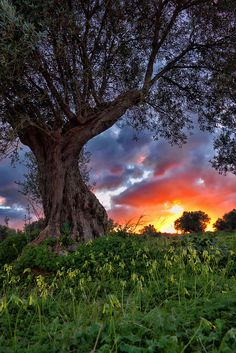 coiour-my-world:  Olive tree by Theophilos on Flickr.