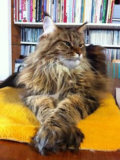 What is the Average Maine Coon Lifespan - Singapura Cat - ideas of Singapura Cat - Maine Coon Cat helping in the office! The post What is the Average Maine Coon Lifespan appeared first on Cat Gig. Beautiful Cats, Animals Beautiful, Cute Animals, Cute Kittens, Cats And Kittens, Tabby Cats, Cats Bus, Ragdoll Kittens, Bengal Cats