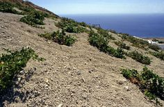 """Santorini's unique terroir: volcanic, porous soil, long hours of sunshine, lack of rainfalls throughout the year, sea mist and strong winds during summer, traditional training system """"kouloura"""" (basket shape), 3.000 years old, low-yield, self-rooted, poor in organic matter vineyard which has never been affected by phylloxera. All these elements in combination with the indigenous, noble, white grape Assyrtiko, create rare, precious and unique wines."""
