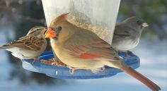 A Chipping Sparrow, Female Northern Cardinal, and a Dark-Eyed Junco - Photo by Alan Wiltsie