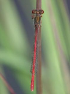 Small Red Damselfly: home comforts | Nature Notes