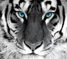 I want a tatto like this except a mother lion with two cubs.... one with blue eyes & the other with brown.