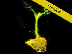 Wow, they made a glowing plant: natural lighting without electricity