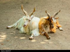 Girgentana (Capra hircus, Capra aegagrus f. hircus), two Girgentanas with characteristic horns, twisted into a spiral form, lying on the ground Stock Photo Cashmere Wool, Spirals, Horns, Stock Photos, Illustration, Horn, Illustrations, Cashmere, Antlers