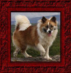 Icelandic Dog