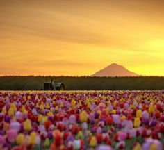 We're currently lost in a daydream of this glowing tulip field in Oregon. (photo: Deej6)