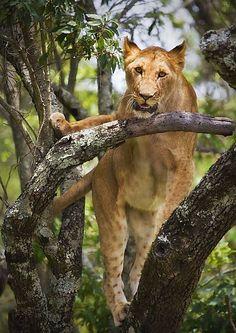 Lion Up Tree