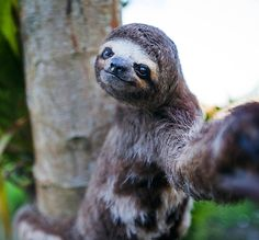 Sloth's are the most interesting animal I think!! Cute! Always smiling :0)