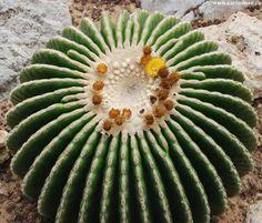 Echinocactus grusonii fa. inermis (an un-determined name)