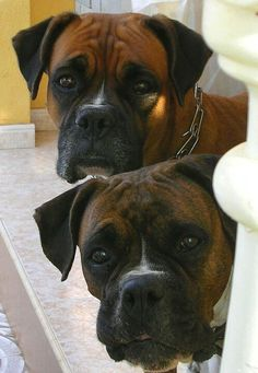 2 NOSEY BOXERS - they look like my rooney with the white on their cute little noses! :)