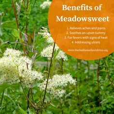 Meadowsweet herb is a versatile plant that can be used in a variety of ways. A simple tea from meadowsweet is wonderful medicine. Healing Herbs, Medicinal Plants, Natural Healing, Natural Health Remedies, Herbal Remedies, Natural Medicine, Herbal Medicine, Herbal Magic, Growing Herbs