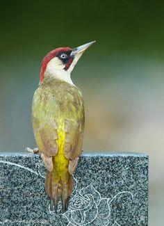 The Atlantic Puffin Bird Tropical Birds, Exotic Birds, Colorful Birds, Beautiful Butterflies, Beautiful Birds, Animals And Pets, Cute Animals, Green Woodpecker, Pic Vert