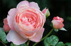Rose und Knospe - Jahreszeiten - Galerie - Community