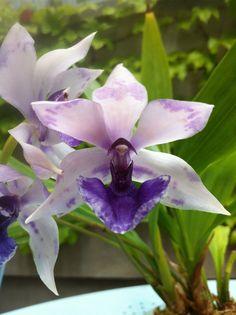 Orchid: Flower-detail of Zygonisia 'Rhein Blue Bird' - Flickr - Photo Sharing!