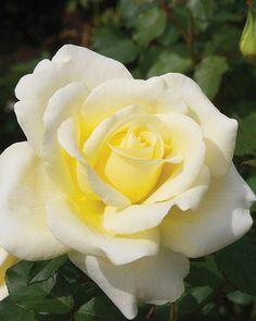 'Elina' | Hybrid Tea rose
