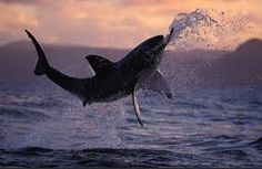 Breaching Great Whites of the Coast of South Africa