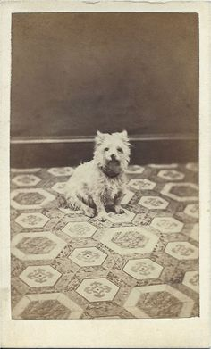 cdv of West Highland White terrier on patterned carpet or floorcloth. Photo by W. Fisher, The Crescent & Murray St. From bendale collection Dog Photos, Dog Pictures, Animal Pictures, West Highland White, West Highland Terrier, Vintage Dog, White Terrier, Patterned Carpet, Old Dogs