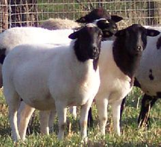 Dorper - South African hair sheep breed, resistant to fly strike and low maintenance