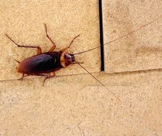 Simple Suggestions To Rid Your Property Of Unwanted Pests - Pest Control Solutions Bug Control, Pest Control, Roaches, Fleas, Banksy, Pune, Move Over, Household Pests, Household Tips