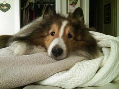 Discuss This Article at our Sheltie Forums What is NOT to love about Shelties? If you're looking for a new family member there are, of course, lots of fan