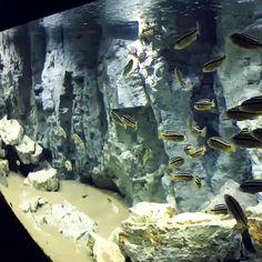 Cichlid Aquarium, Saltwater Aquarium, Freshwater Aquarium, Aquarium Fish, Live Aquarium, Marine Aquarium, Fish Tank Wall, Pond Habitat, Aquarium Architecture