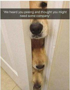 Pembroke Welsh Corgi, Golden Retriever, Pug, Puppy, Cat, Meme, Kennel, Animal: We heard you peeing and thought you might need some company