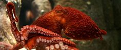 http://www.montereybayaquarium.org/-/m/images/hero/giant-pacific-octopus.jpg