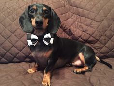 Roscoe is ready for the races.   Visit www.isabellaspetshop.com to order yours.