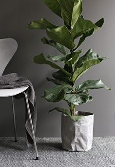 Fiddle leaf ficus can be ordered at plant nursery Inside Plants, Big Plants, Green Plants, Potted Plants, Indoor Plants, Ficus, Interior Plants, Interior And Exterior, Interior Design