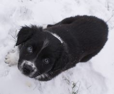 Black bi Imagineer Aussie puppy Aussie Puppies, Kittens, Cats, Fur Babies, Cute Dogs, Corgi, Australian Shepherds, Aussies, Dog Stuff