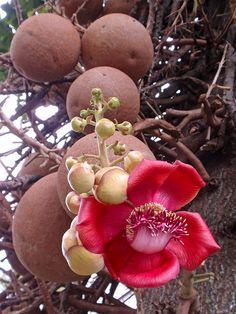 Cannonball Tree (Couroupita guianensis) by Hawai'i Naturalist, via Flickr