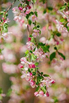 Vintage Gathering Wedding Flowers: Apple Blossom- A lovely flower to add to table decor or in hand tied bouquets Apple Blossom Flower, Pink Blossom, Cherry Blossoms, My Flower, Beautiful Flowers, Flowering Trees, Spring Flowers, Spring Blooms, Planting Flowers