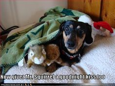 What is it about doxies and their stuffed toys?? Stuffies are their Babies. (until of course, they are shredded in a million pieces then they are the enemy)