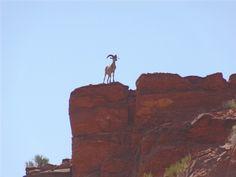 A bighorn sheep stands guard in Utah