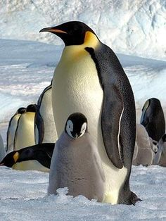 Researchers counted emperor penguins in Antarctica. Nature Animals, Animals And Pets, Cute Animals, Baby Animals, Artic Animals, Penguins And Polar Bears, Baby Penguins, Cute Creatures, Beautiful Creatures