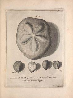 Jacobi Theodori Klein, secret. reip. gedan. et Societ. Reg. Lond. Sod. Naturalis dispositio Echinodermatum : - Biodiversity Heritage Library