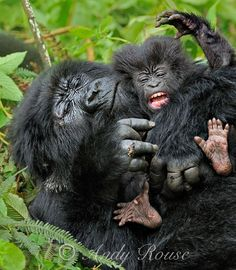 Gorillas in Rwanda: photography by Andy Rouse