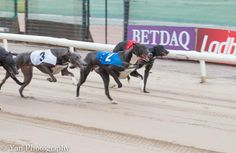 #dogs #dogracing #lovethedogs