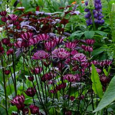 buy Astrantia 'Hadspen Blood' Regarded as the darkest red Astrantia with a superb mahogany tipped red collar. Dark maroon stems and similarly tinted foliage Long Blooming Perennials, Hardy Perennials, Back Gardens, Small Gardens, Astrantia Major, Astrantia Flower, Painting The Roses Red, Backyard Ideas For Small Yards, Gothic Garden