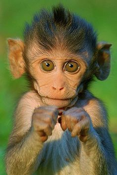 Boxing Baby Monkey. He's adoooorable!!!