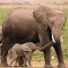 Mom And Baby Elephant, Elephant Love, Elephant Family, Newborn Elephant, Funny Elephant, Happy Elephant, Cute Baby Animals, Animals And Pets, Funny Animals