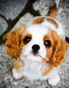 Cavalier King Charles spaniel is a very hospitable little puppy which immediately be attached to his master. puppy is believed to be favori...