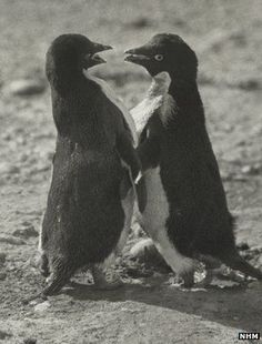 Penguins are one of the most sexually deviant animals! - Animals - Interesting Facts and Fun Facts - OMG Facts