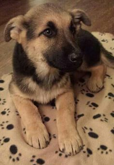One day I shall have my very own GSD