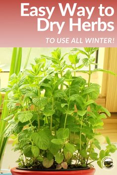 Here's the easy way to dry herbs. A DIY kitchen tip to enjoy herbs all year round. How to dry herbs without a dehydrator. #herbs #food #cooking #dehydrating #kitchentips Canning Jars, Canning Recipes, How To Make Sauce, Smoked Fish, Fish And Meat, Emergency Food, Dehydrated Food, Herbs Indoors, Growing Herbs