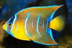 Salt water Angelfish
